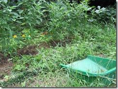 家庭菜園(収穫⑩)