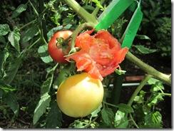 家庭菜園(収穫⑪)
