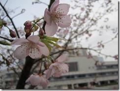 伊東市役所・小室桜
